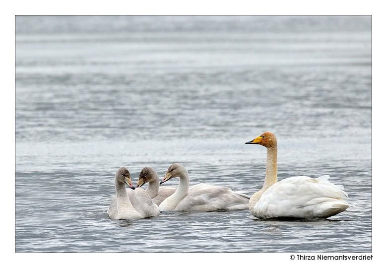 The Swanlake - Zwanen bij het grote Myvatn Lake in het noordoosten van IJsland