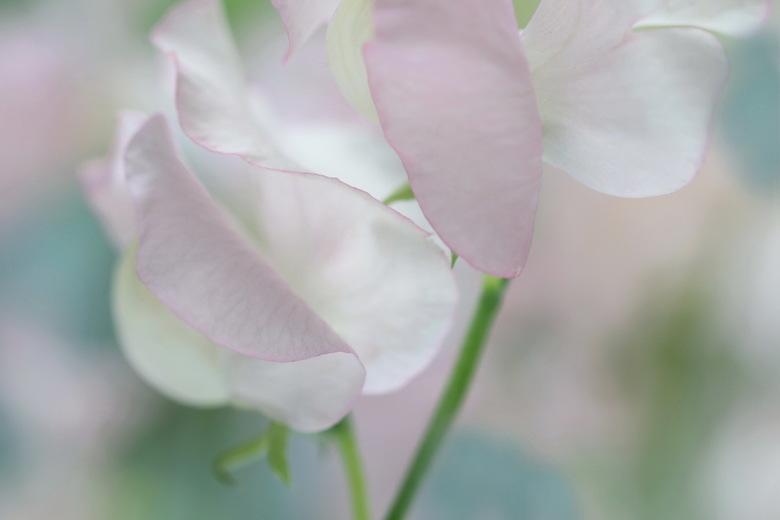 LATHYRUS - Een van m,n lievelingsbloemetjes, de lathyrus. Ik vind het een romantisch bloemetje met z,n tere kleuren en vormen.