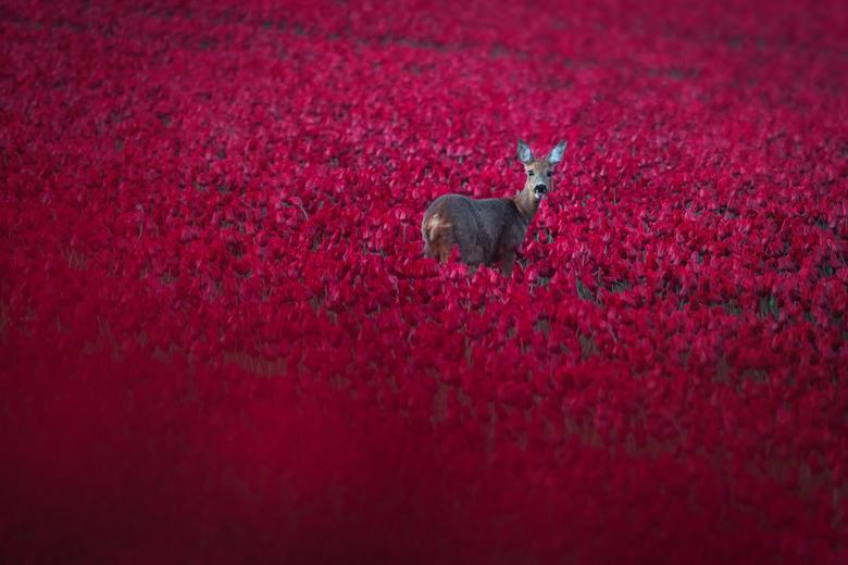 Rendier in tulpenveld!