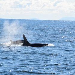 Orka's voor de kust bij Vancouver, Canada BC