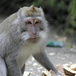 Aap in Monkey Forest (Bali) met Suikerbiet