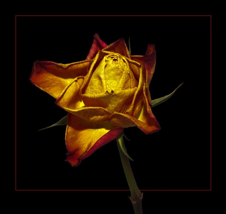 roos - een iets verlepte roos, zwaar onderbelicht, en ff een beetje bewerkt