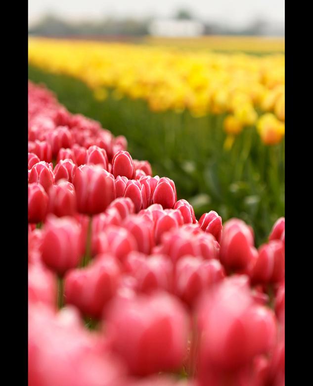 Tulpen / Tulips -