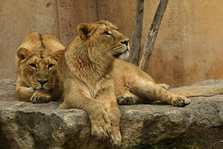 seksuele dimorfie #16 - Onder de grote katten hebben de leeuwen een opvallende seksuele dimorfie. De manen van de kater hebben naast de imponeer-funct