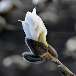ontluikende magnolia