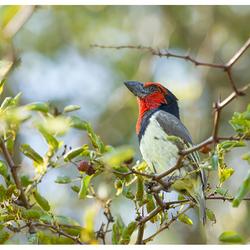 Zwarthals Baardvogel