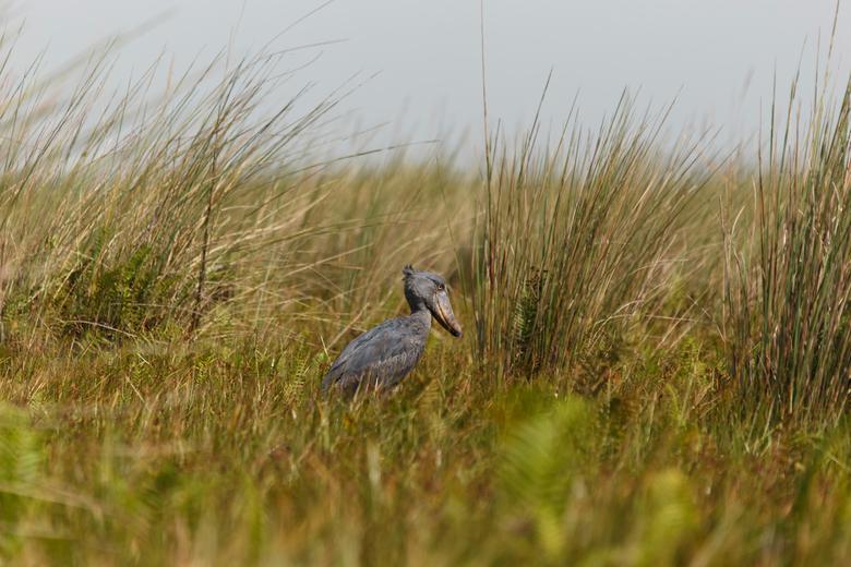 Schoenbekooievaar - Zeldzame vogel die na moeizame tocht door moeras uiteindelijk is gefotografeerd