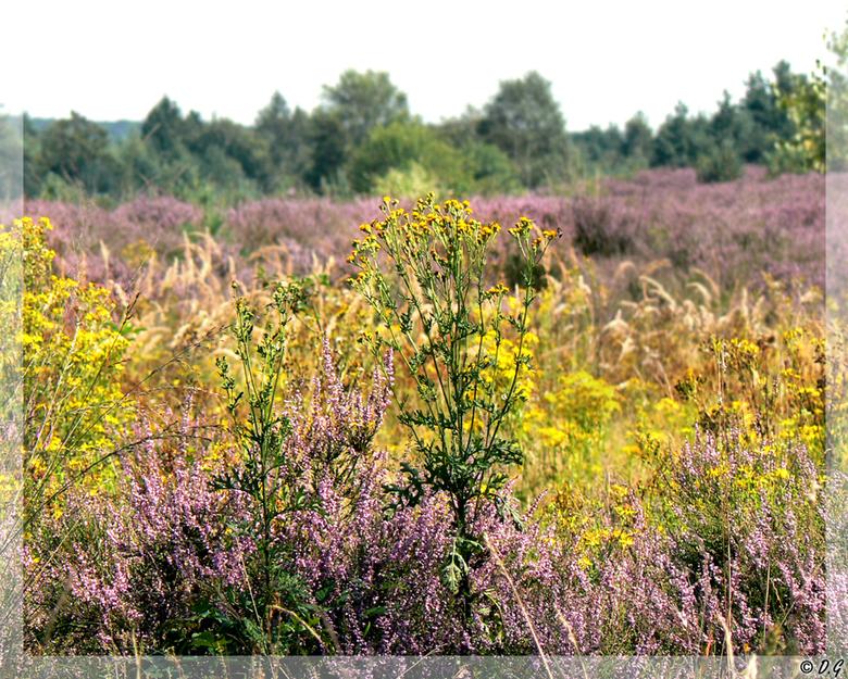 Purple Seas Yellow Waves - Deze zomer waren de hei-velden op de veluwe prachtig, gebloeid tot een zuiver paarse massa.<br /> <br /> Maar dan zie je