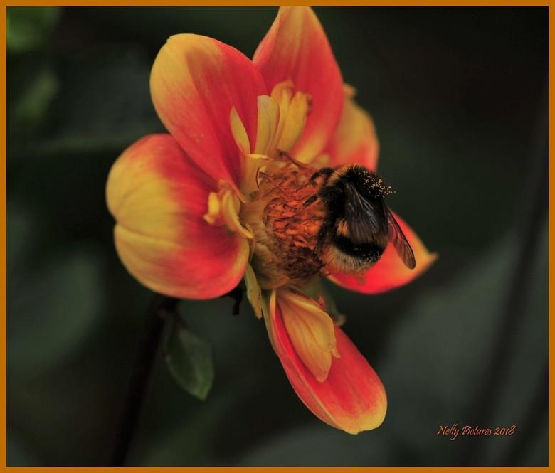 Oranje-gele dahlia met bezoek -