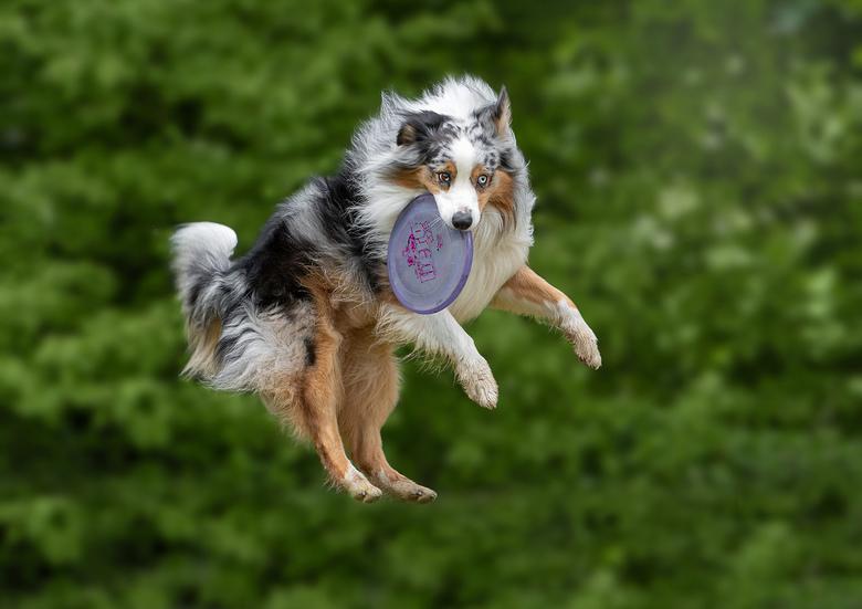 Chase,...catch - Chase is gek op frisbees en kan mega hoog springen om ze op te vangen.