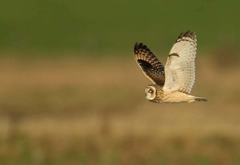 Velduil 2 - Inmiddels mijn foto&#039;s van Zeeland bewerkt. Deze sprak mij aan, omdat de vleugels van de Velduil mooi in vlucht zijn te zien.<br /> <