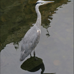 Haagse Reiger