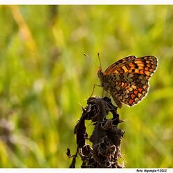 Knoopkruidparelmoervlinder