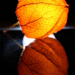 Physalis in the moonlight