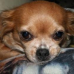 Mijn Chihuahua Vicky ligt op de bank. Ze lijkt in gedachten te zijn. 10-10-2017.