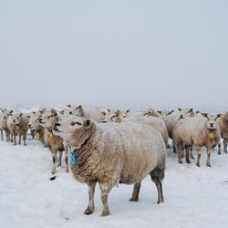 Schapen in de mist en sneeuw