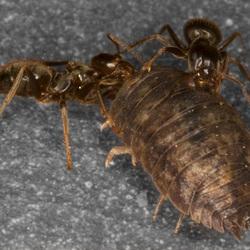 Mieren op strooptocht