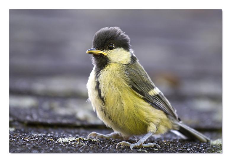 koolmeesje - Nog snel een opname op het dakje van de buren want het vogeltje was nog heel onwennig.