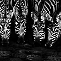 Drinking Zebras