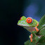 Rood oog boomkikker in Costa Rica