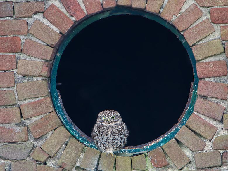 Steenuil - Steenuiltje in het raam van een boerenschuur.