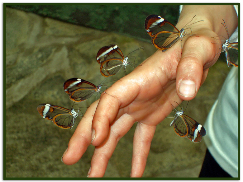 beter 6 op je hand dan 100 in de lucht.. - De Glasvleugelvlinder (Greta morgane) is een dagvlinder uit de onderfamilie Danainae, geslachtengroep Ithom