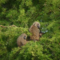Familie baviaan geniet van de zon