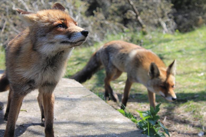 """Vosjes - Mijn favoriete dieren <img  src=""""/images/smileys/smile.png""""/>"""