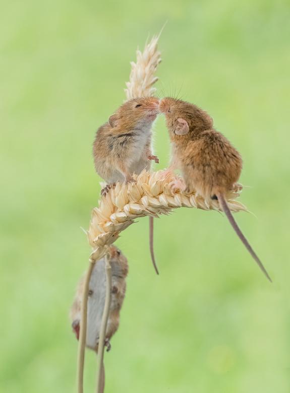 Hé wacht op mij, ik wil ook een knuffel! - Knuffelende dwergmuizen. <br /> <br /> De dwergmuis is de het kleinste knaagdier in Europa en weegt maar