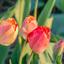Tulpen in het avondzonnetje...