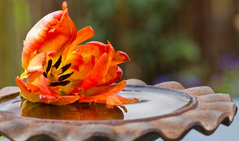 tulp weerspiegeling - macro van tulp