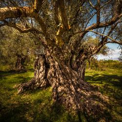 Imposante olijfboom