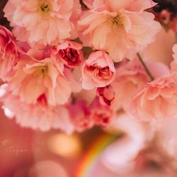 Magical light, pink flowers & a rainbow