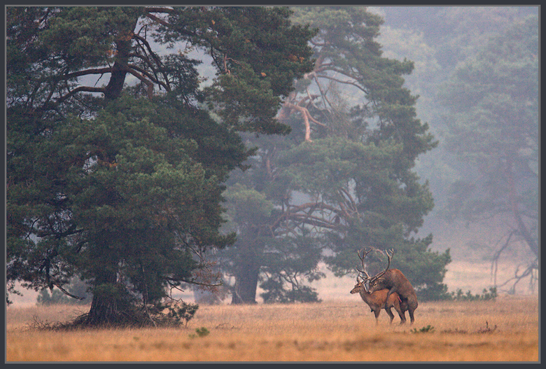 BRONST - Eindelijk, na jaren  herten gevolgd te hebben veel aangezeten te hebben , vaak voor niets op pad lukt het dan een keer. Hertenbronst in vol o