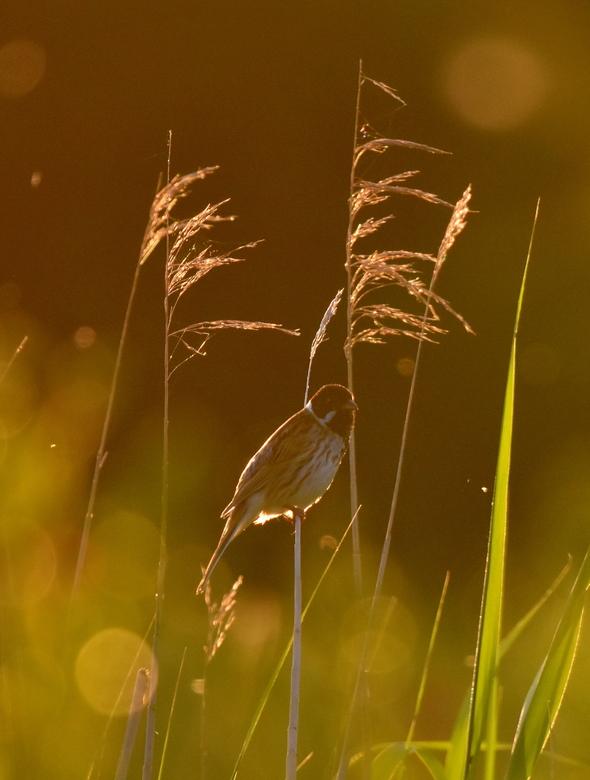 Gors-soort in tegenlicht - Vanwege het tegenlicht moeilijk te determineren (voor mij), mogelijk een Gors-soort (?), maar het ging me om het mooie beel