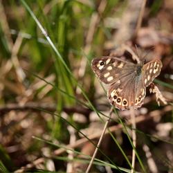 vroege vlinder