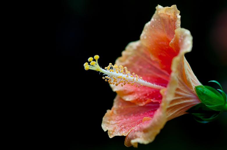 bloem - Bloem in de orchideeenhoeve.<br /> <br /> Ik houd er van om een natuurlijke zwarte achtergrond te &#039;creeeren&#039;.