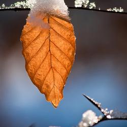 Sneeuwblad