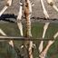 Giraffe, bij Burgers' Zoo