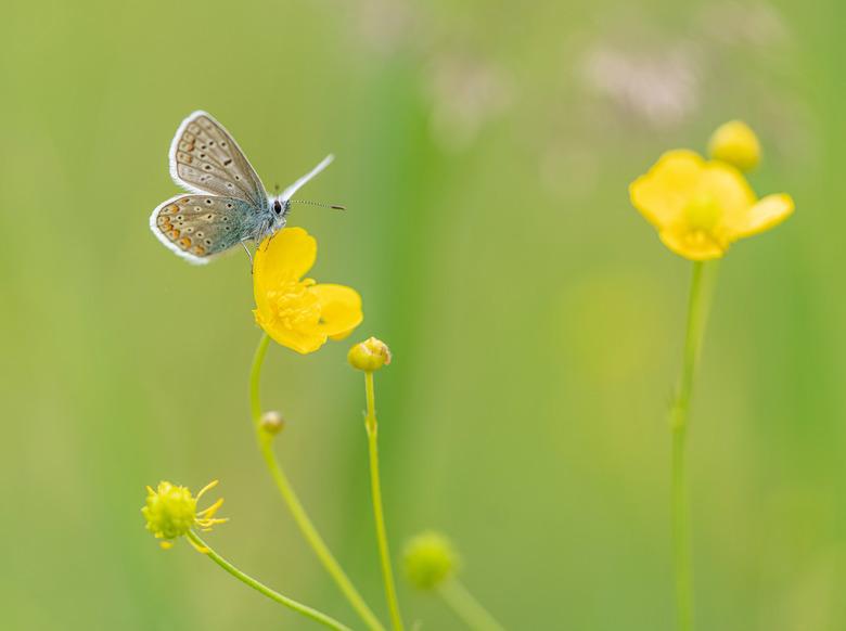 Klassiek - Op een boterbloempje, vleugels open...ik maak ze elk jaar weer met veel plezier