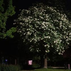 midzomernachtboom