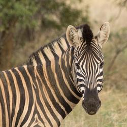 Zebra, Bontsebra ...