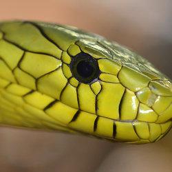 Groene Mamba (Dendroaspis Viridis)