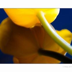 Tulp creatie(f) 6