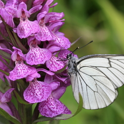 Vlinder - Ecrins