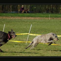wolfshonden race