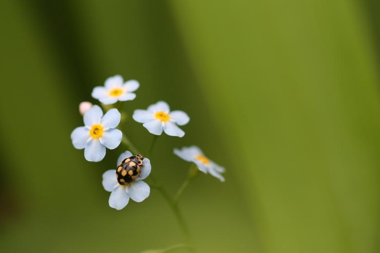 Vergeetmijlieveheersbeestje - Lieveheersbeestje op een vergeetmijnietje.