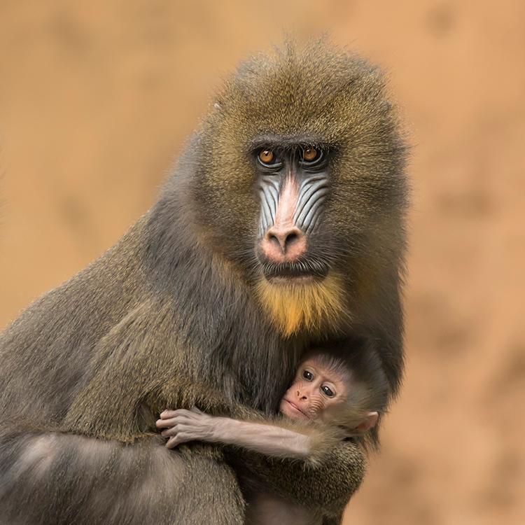 Mandril geboren - 19-08-2015.<br /> Op zaterdag 15 augustus is er in Ouwehands Dierenpark een mandril geboren. De dierverzorgers ontdekten het jong o
