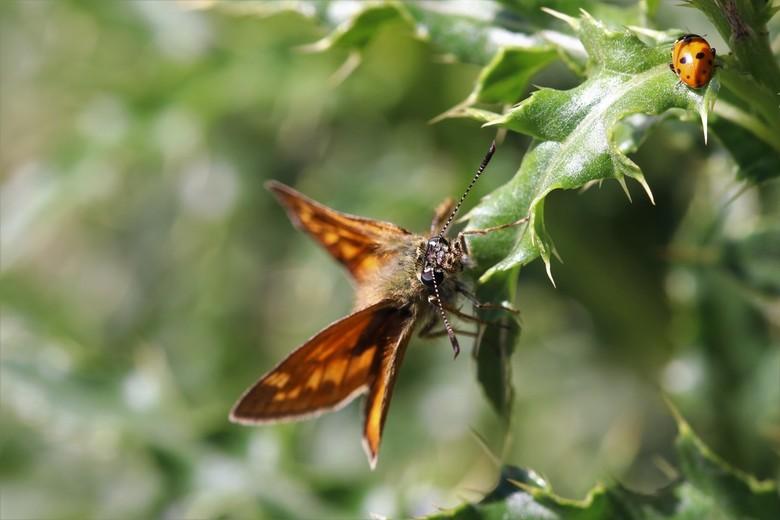 dikkopje - grootdikkopje  vlinder<br /> 16-6-2019