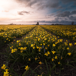 Hollandse Narcissen